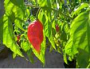 ghost pepper plant deal