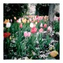 Tulip Bulb Sale Deal