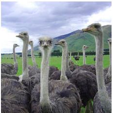 Ostrich Tanga April Fools