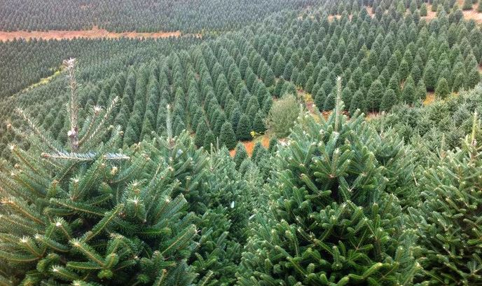 BL Christmas Trees groupon deal